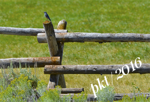 web mountain blue bird red hills ranch_DSC4309