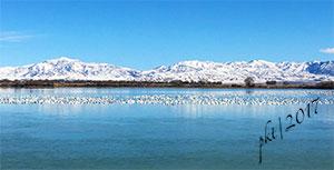 snow-geese-Delta-UTa
