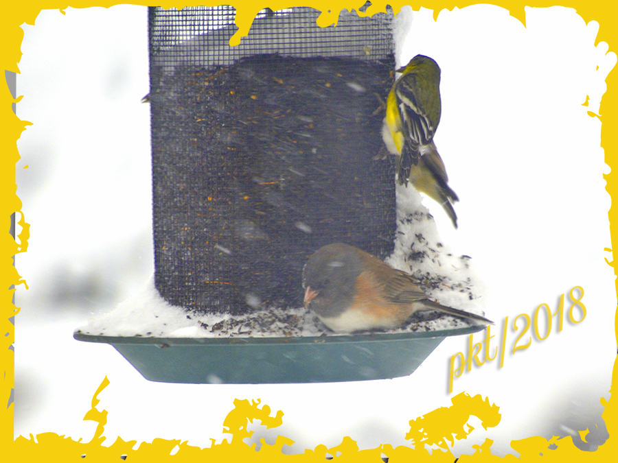 web dark eyed junco American goldfinch_DSC7941