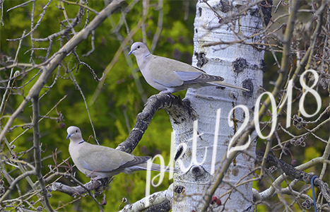 web doves_DSC8055
