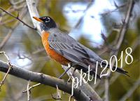 web robin backyard_DSC8081